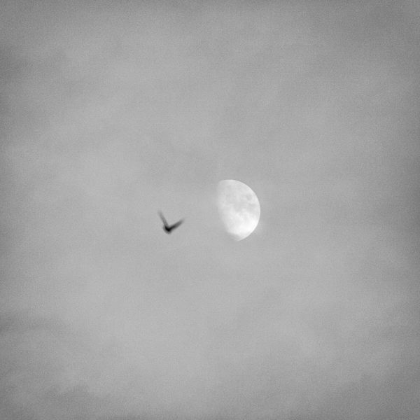 Ascend - A photo of a bird rising towards the moon