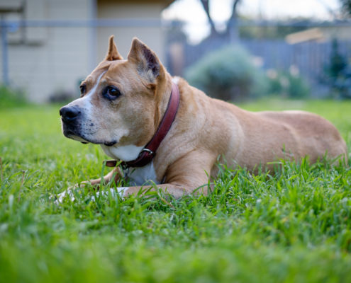 Carly staffordshire terrier back lawn
